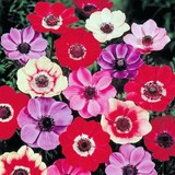 ANEMONE DE CAEN - ANEMONE CORONARIA - QUESTION 1603