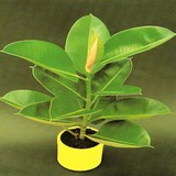 CAOUTCHOUC - FICUS ELASTICA - QUESTION 1684