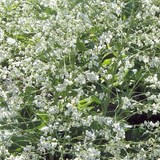 CHOU NUAGE BLANC - CRAMBE CORDIFOLIA - QUESTION 1682