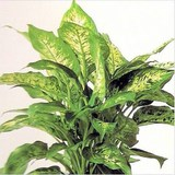 DIEFFENBACHIA - QUESTION 1681