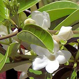 JASMIN DE MADAGASCAR - STEPHANOTIS FLORIBUNDA - QUESTION 1656