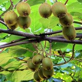 KIWI - ACTINIDIA CHINENSIS ou DELICIOSA - QUESTION 1694