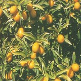 KUMQUAT - FORTUNELLA - Q1677