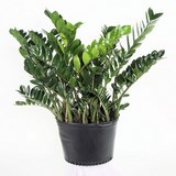 ZAMIOCULCAS - ZAMIOCULCAS ZAMIFOLIA - QUESTION 1614